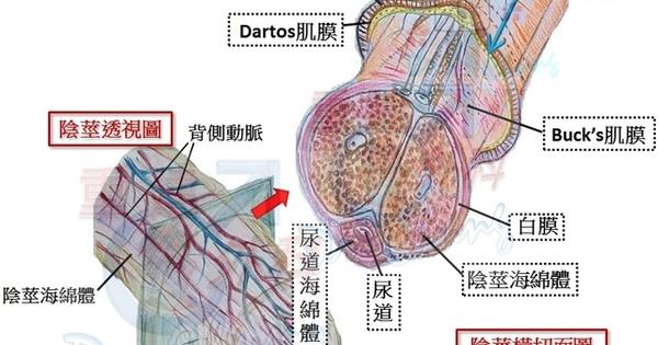 常靚外科診所網站  院長鍾侑谷 -- 男性重建外科:外泌尿系統手術